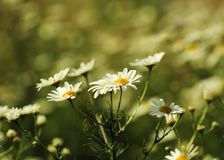 Camomile flowers. In field, retro vintage hipster background Stock Images