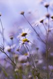 Camomile flowers. In field, retro vintage hipster background Royalty Free Stock Images