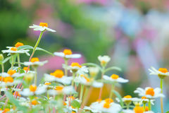 Camomile flowers field selective focus Stock Image