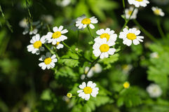Camomile flowers in a garden. Close up Stock Photos