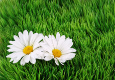 Camomile Flowers on grass Royalty Free Stock Photography