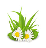 Camomile flowers with grass on white background. Illustration camomile flowers with grass on white background - vector Stock Images