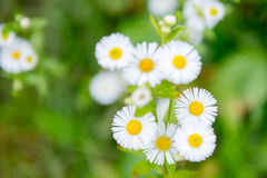 Camomile flowers Stock Photos