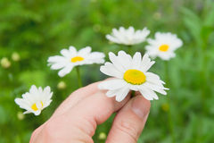 Camomile flowers in hand. On wide field under midday sun Stock Photo