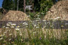 Camomile flowers with hay stacks in background Stock Photography