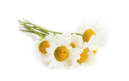 Camomile flowers isolated on white Royalty Free Stock Images