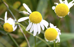 Camomile Royalty Free Stock Photography