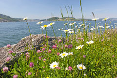Camomile flowers near a lake Royalty Free Stock Photo