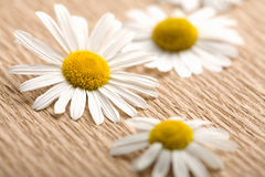 Camomile flowers over recycled paper Royalty Free Stock Image