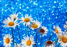 Camomile flowers in a smart bouquet on a shiny a festive blue ba Royalty Free Stock Photos