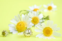 Camomile flowers on summer background Royalty Free Stock Photos