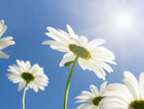 Camomile flowers in sun rays Royalty Free Stock Images