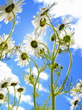 Camomile flowers under the sun Stock Photos