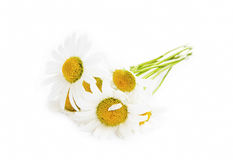 Camomile flowers  on white Stock Photos