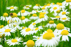 Camomile flowers on wide field. Many camomile flowers on wide field under midday sun Royalty Free Stock Image