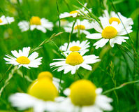 Camomile flowers on wide field. Many camomile flowers on wide field under midday sun Royalty Free Stock Photo