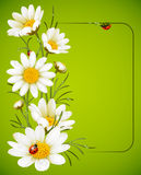 Camomile frame Stock Image