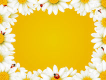 Camomile frame and ladybugs. Vector camomile frame and ladybugs Royalty Free Stock Photos