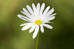 Camomile in garden. Beautiful camomile bloom in garden on flowerbed Stock Photo