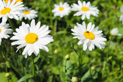 Camomile in garden Royalty Free Stock Photography