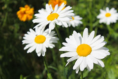 Camomile in garden Stock Photos