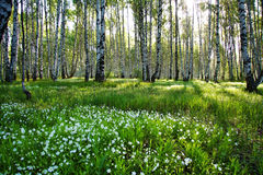 Camomile glade in birch forest. Sunny camomile glade in birch forest royalty free stock photo