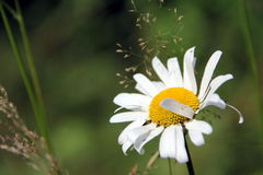 Camomile in the grass Stock Images