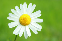 Camomile on green Stock Image