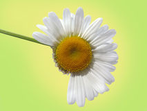 Camomile on a green background Stock Image