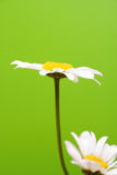 Camomile on green background Stock Photography
