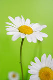 Camomile on green background Stock Images