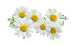 Camomile group long isolated on white Royalty Free Stock Photos
