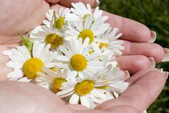 Camomile in hand Stock Images