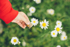 Camomile , hand, child, girl, catch, butterfly, insect, education, life style royalty free stock photography