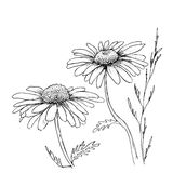 Camomile hand drawn flowers Stock Images