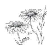 Camomile hand drawn flowers Stock Photography