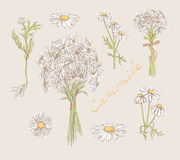 Camomile hand drawn set  Royalty Free Stock Photos