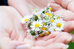 Camomile in the hands Stock Photos