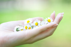 Camomile in the hands Royalty Free Stock Photos