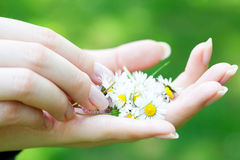 Camomile in  hands of women Stock Images