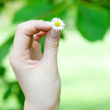 Camomile in  hands of women Royalty Free Stock Photos