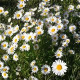 Camomile and hapiness. This is a photo of wonderful camomile, grass and evening sun Stock Image