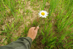 The camomile has not suffered. Growing camomile in a hand, around a summer meadow Royalty Free Stock Image