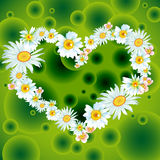 Camomile heart. Floral love card (camomile heart Stock Image