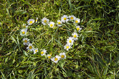Camomile heart shape on the grass Stock Photo