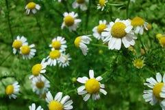 Camomile Herb Stock Photo