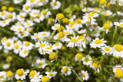 Camomile herb in nature. Camomile herb in its nature uncut form. Chamomile or camomile is the common name for several daisy-like plants commonly used to make stock photo
