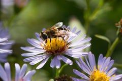 camomile hoverfly Στοκ Εικόνα