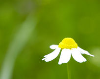 Camomile II. Camomile with copyspace Royalty Free Stock Photo