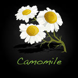Camomile illustration vector Royalty Free Stock Photography